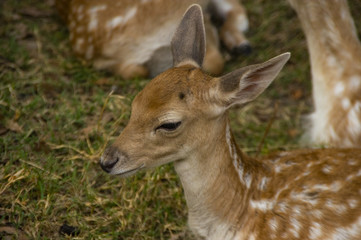 The Bamby fawn