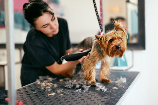 Pet Grooming Salon. Dog Getting Hair Cut At Animal Spa Salon
