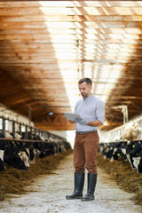 Full length portrait of handsome farm owner using digital tablet standing in barn with cows lit by sunlight
