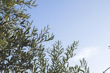 olive tree foliage background