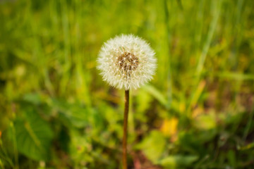 Dandelion spores(seeds) in the field.