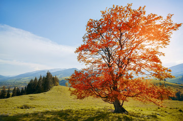 tree with colorful leaves in mountain. autumn background