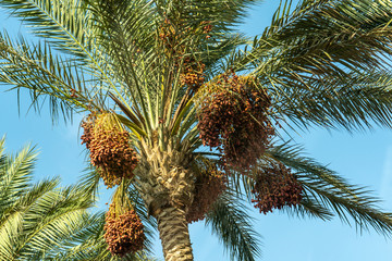 branches of date palms under blue sky