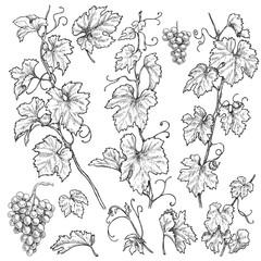 Hand Drawn Grape Branches  Set