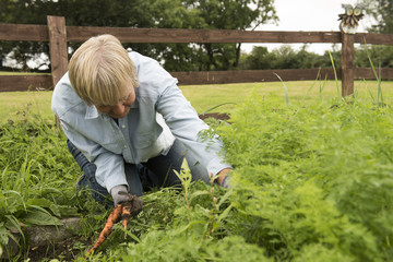 Senior woman picking carrots from her garden allotment