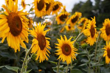 summer landscape. sunny field of sunflowers