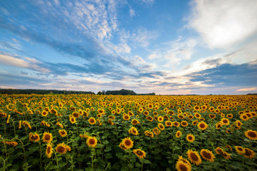 summer landscape. sunny field of sunflowers on sunset