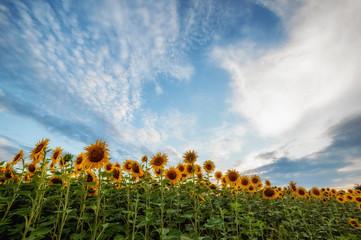 summer landscape. sunny field of sunflowers on sunset