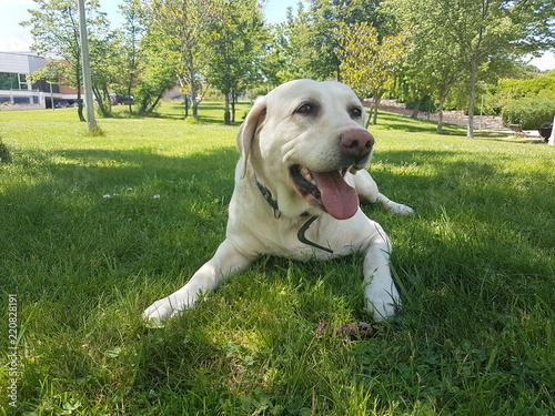 Cachorro De Labrador Jugando En El Parque Stock Photo And Royalty