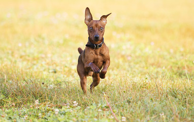 Dog jumping in the air