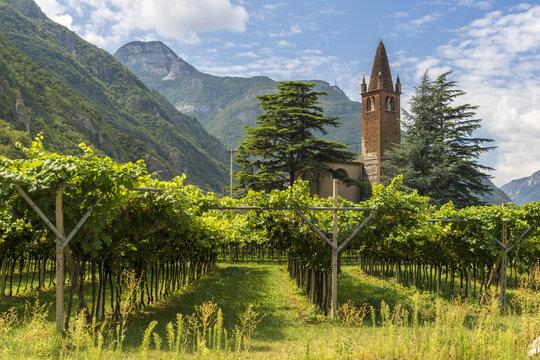 Wineyard green grape alley in Trento Italy