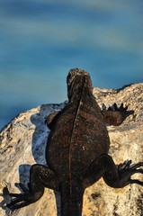 Iguana on a rock in galapagos