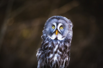 Fototapete - Great Grey Owl