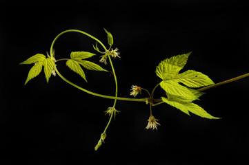 Golden hop vine against black