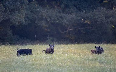 Wild boar herd on meadow