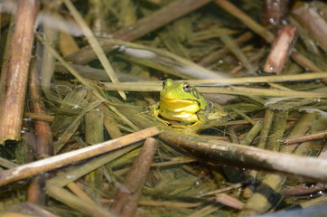 Green frog, male, with yellow throat during breeding season