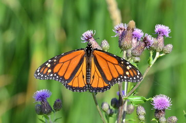 Monarch Butterfly on Purple Canada Thistle