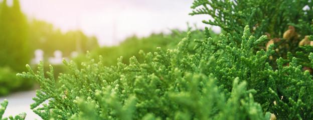 Tui branches, vegetative green background, sunlight