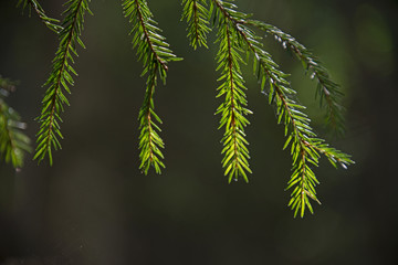 the natural background - midday sun in the coniferous wood