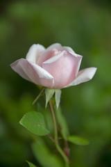 FLOWERS- antique rose