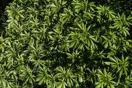 Plantation of cannabis, illuminated by sunlight. Hemp plants. View from above.
