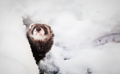 Mustela putorius furo, ferret, walking in the snow Wall mural