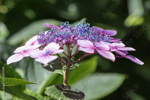 Gesagte Hortensie Hydrangea Serratta Blue Deckle Blaue Hortensie