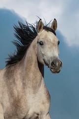 Beautiful arabian horse portrait