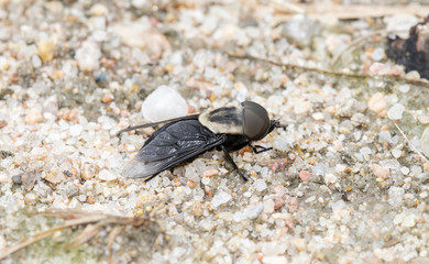 Western Horsefly (Tabanus punctifer) Perched on the Ground on Rocky Soil in Eastern Colorado