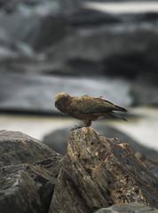 Kea Bird in Hooker Valley (NZ)