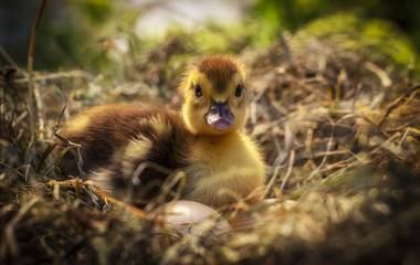 A small duck sits on a hay nest