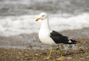 Marine Gull. Seagull on the coast of the Atlantic sea, Puerto Madryn. Larus Marinus.