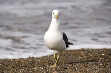 Marine Gull. Seagull on the coast of the Atlantic sea, Puerto Madryn. Larus Marinus.