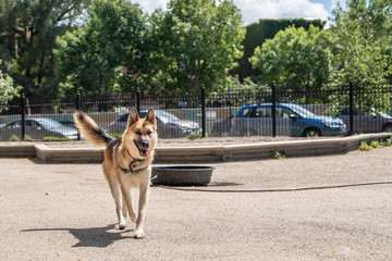 A beautiful German Shepherd jumps and runs, chasing a ball, in a dog park in the city on a summer day.