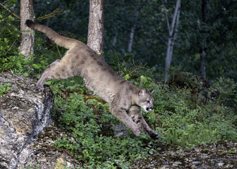 Mountain Lion in Action