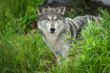 Wall Mural - Grey Wolf (Canis lupus) Looks Out Intently From Grasses