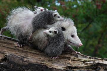 Fototapete - Opossum Joeys (Didelphimorphia) Cling to Mother