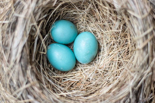 Three beautiful blue robin bird eggs resting in a nest