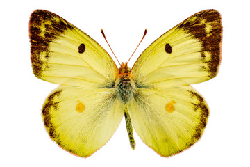 Colias hyale on a white background