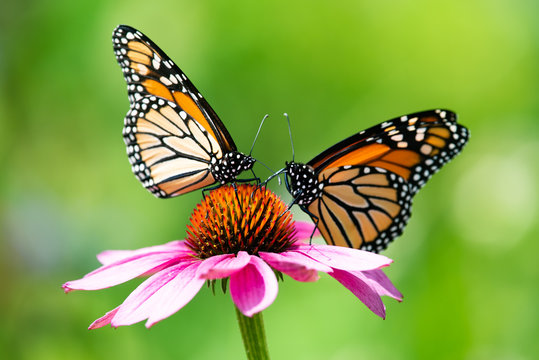 Two monarch butterflies feeding on a pink cone flower