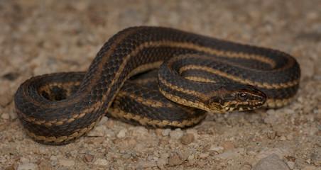 Gulf Salt Marsh Snake (Nerodia clarkii clarkii)