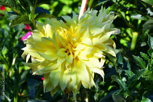 Dahlia flower yellow stock photo and royalty free images on fotolia dahlia flower yellow mightylinksfo