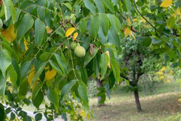 Nussbaum, Nuss, Herbst, Wiese, Baum