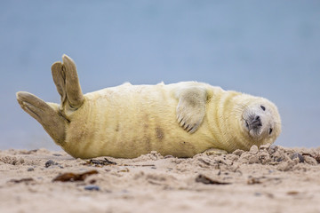 Comical Grey seal pup on beach