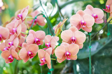 Orange Pink color orchid flowers