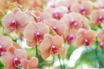 Close-up of pink orchid phalaenopsis.