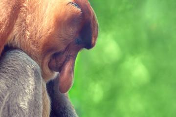 Proboscis monkey (Nasalis larvatus) portrait, close-up