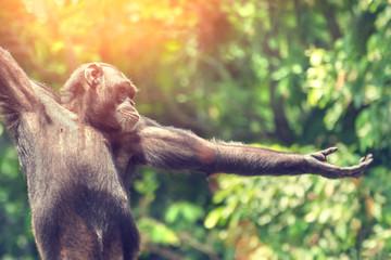 Chimpanzee monkey portrait, close-up
