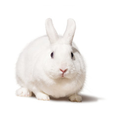 White fat rabbit. Isolated on white