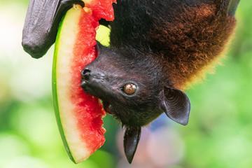 Fruit bat (Megachiroptera) eating watermelon